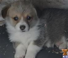 pembroke welsh corgi puppy posted by Bethica