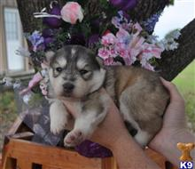 siberian husky puppy posted by Beverly McHargue