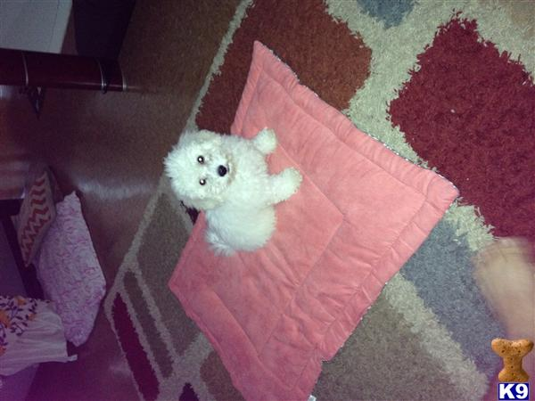 bichon frise puppy posted by Bichon64