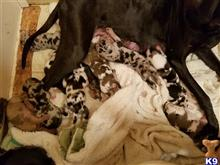 great dane puppy posted by Blake77