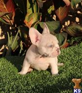 french bulldog puppy posted by Blue Empire Frenchies