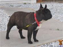 French bulldog wanted for stud