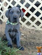 great dane puppy posted by Bluedanecountry