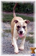 american pit bull puppy posted by Blueline