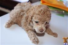poodle puppy posted by BonnStar