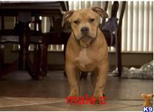 american pit bull puppy posted by Bossstatusbullies