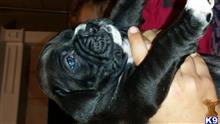 boxer puppy posted by BoxerLuv1