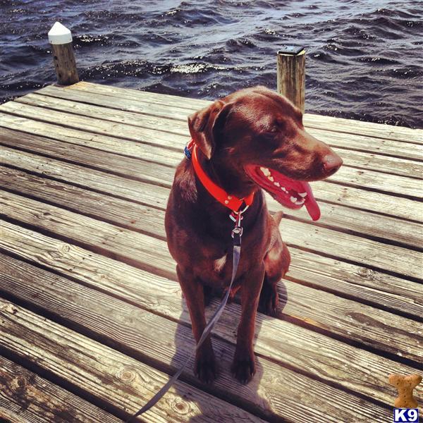 Labrador Retriever Stud Dog: You Gotta Hank It 8 Years old