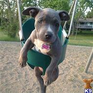 american pit bull puppy posted by Brad098