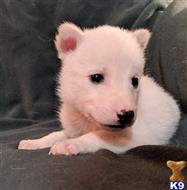 wolf dog puppy posted by Brandelyn420