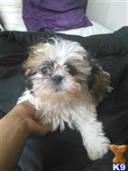 shih tzu puppy posted by Brandon1031