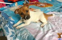 jack russell terrier puppy posted by Brandonelvin11