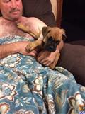 boxer puppy posted by Braunboxers
