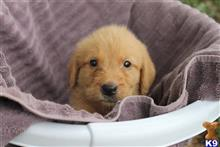 labradoodle puppy posted by Bravo k9