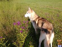 Wolf Dog Stud Dogs