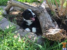 australian shepherd puppy posted by Breagha