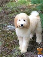 labradoodle puppy posted by BrendanF34