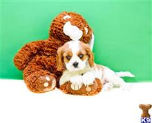 cavalier king charles spaniel puppy posted by BrentZman