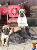 mastiff puppy posted by Bronson Brown