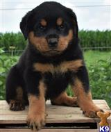 rottweiler puppy posted by Buffly458