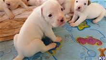 american bulldog puppy posted by Bull1