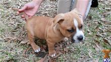 american bully puppy posted by Bullier Pitbulls07