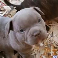 american pit bull puppy posted by Bully Boss