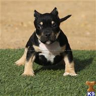 american bully puppy posted by Bully Pit Bulls