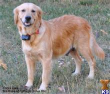 golden retriever puppy posted by Byall Acres