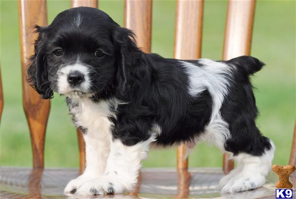 Cocker Spaniel Puppy For Sale Digger Male 600 From Ohio 8 Years Old
