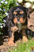 cavalier king charles spaniel puppy posted by CA-puppies