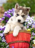 siberian husky puppy posted by CA-puppies