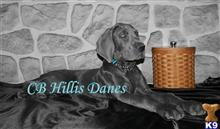 great dane puppy posted by CB Hillis Danes
