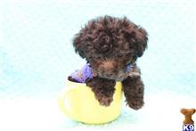 poodle puppy posted by CMPuppyHeaven