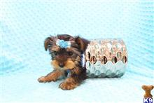 yorkshire terrier puppy posted by CMPuppyHeaven