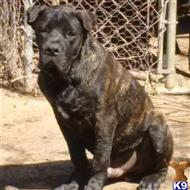 american bandogge mastiff puppy posted by California Bandogge