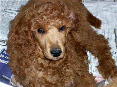 Callalilly Poodles Picture 1