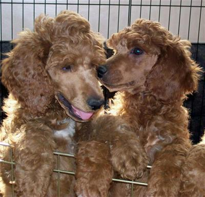 Callalilly Poodles Picture 2