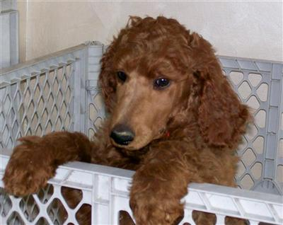 Callalilly Poodles Picture 3