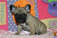 french bulldog puppy posted by Cd4321