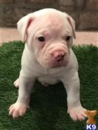 american bulldog puppy posted by Chach2422