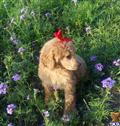 poodle puppy posted by Chalkers19