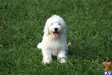 goldendoodles puppy posted by Chandlersdoodles