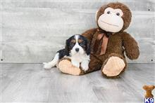 cavalier king charles spaniel puppy posted by Charlottedogclub