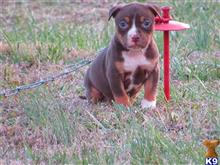 american bully puppy posted by Chocolate City Tris