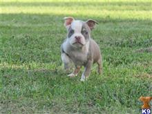 american pit bull puppy posted by Chocolate City Tris