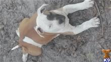 american pit bull puppy posted by Chris_love32