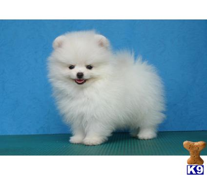 pomeranian puppies for sale in washington pomeranian puppies for sale in washington 3281