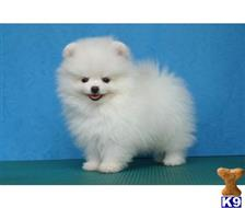 pomeranian puppy posted by Chrissharon