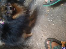 Pomeranian Stud Dogs